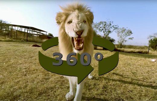 Leões brancos em 360º